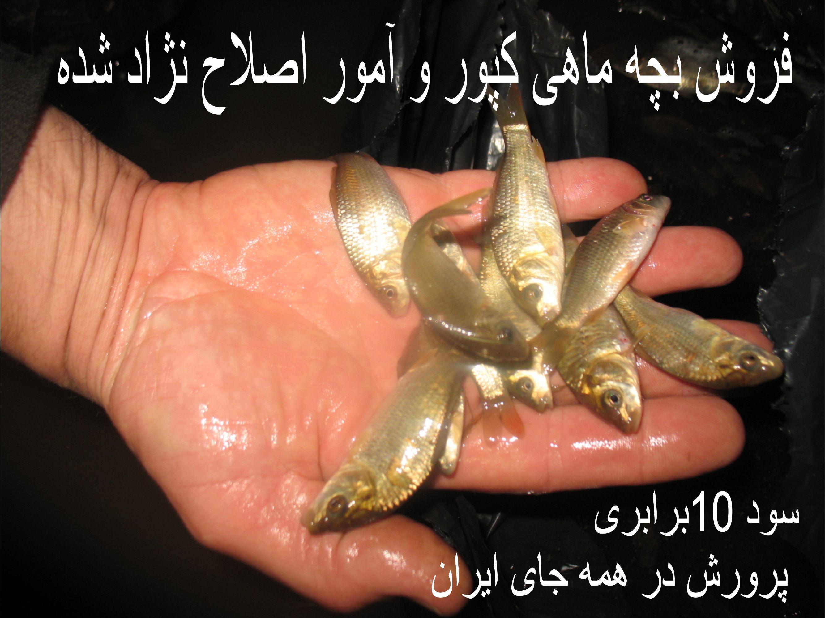 فروش بچه ماهی اصلاح نژاد کپور و آمور طلایی